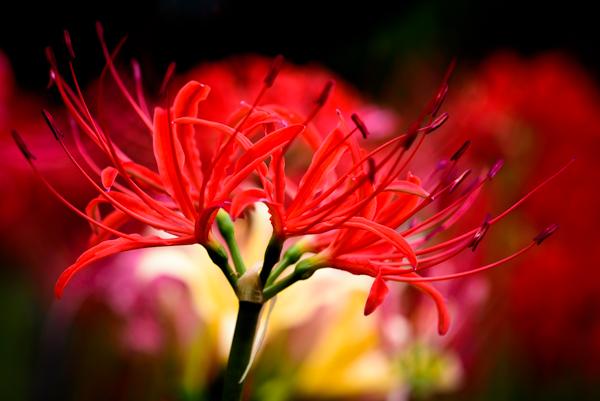 (延期)【第7回 高良川彼岸花まつり】竹灯籠などでライトアップされた幻想的な秋の夕べを楽しもう