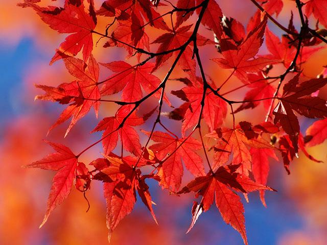 【柳坂ハゼ祭り】約250本の並木が続く人気の紅葉スポット