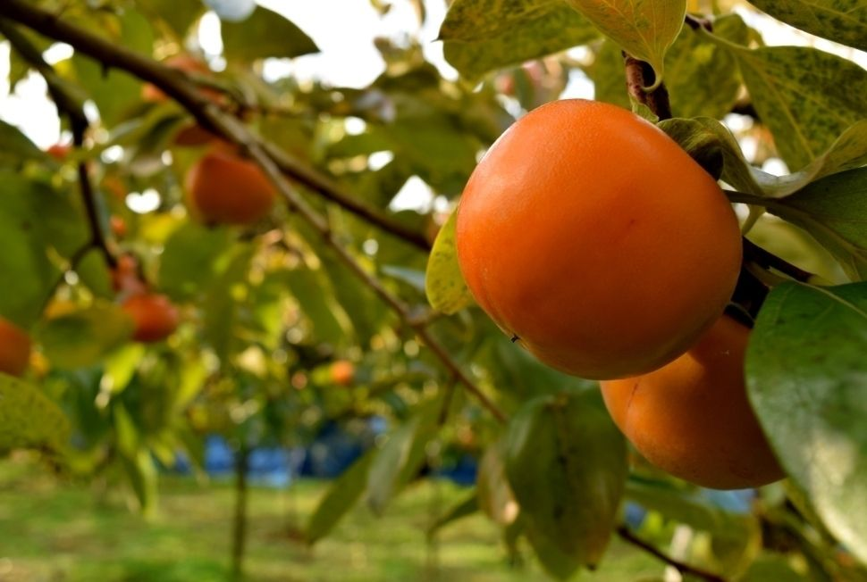 【柿祭り&ヌーボー祭り】柿狩りと巨峰ワインを同時に楽しめる!空くじなしの抽選会もあります!
