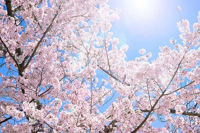 【第8回 城島町民の森公園桜まつり】約200本の桜が咲き誇る 多彩なイベントも開催