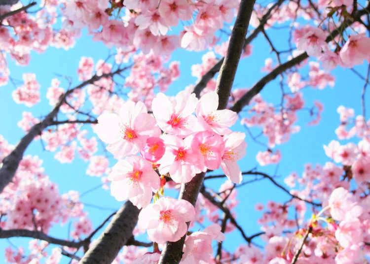 【鷲塚公園桜まつり】400個の提灯と明かりに照らされた150本の夜桜が楽しめる